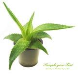 ny isolerad leaf för aloe över vera white arkivfoto