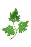 ny isolerad leafparsley royaltyfri bild