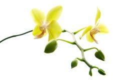 ny isolerad orchidsyellow Arkivfoton