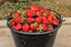 Ny jordgubbe. Arkivbild