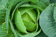 Ny kål för Closeup i grönsakträdgården Arkivbild