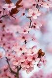 Ny körsbärsröd blomning Royaltyfria Foton
