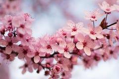 Ny körsbärsröd blomning Arkivfoto