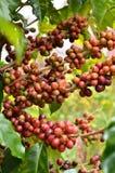 Ny kaffeböna på träd royaltyfri foto