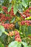 Ny kaffeböna på träd arkivbild