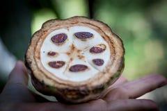 Ny kakaofrukt i en hand close upp Snitt av rå kakao i den Sri Lanka kolonin arkivfoto