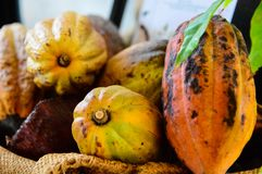 Ny kakaofrukt på kakaoträd royaltyfri foto
