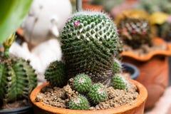 Ny kaktusväxt med taggiga päron och blommor, grön färg av taggträdet i kruka på den naturliga trädgården arkivfoton