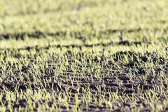 Ny kantjustering Selektiv fokus på jordbruksmarkgrönsakforsar royaltyfria bilder