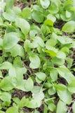 Ny kinesisk grönkålgrönsak i organisk grönsaksäng arkivfoto