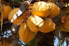Ny kokosnöt Arkivfoton