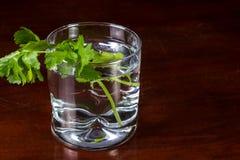Ny koriander i ett exponeringsglas av vatten royaltyfri fotografi