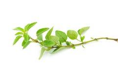 Ny kvist av oreganoörten Royaltyfria Bilder