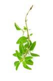 ny kvist av oreganoörten Arkivfoton