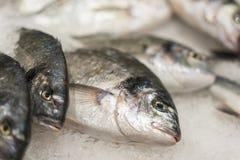 ny kyld havsfisk på is Ny fisk från havet till marknaden som visas på en tjock säng av ny is som inte smälter till Royaltyfri Fotografi