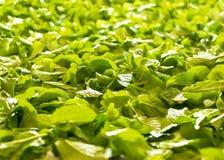 Ny läka grön bakgrund för mintkaramellsidor Krydda pepparmint arkivfoton