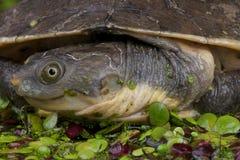 ny låsande fast sköldpadda för guinea arkivbild