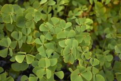 Ny lövverk av Marsileaquadrifoliaen royaltyfria bilder