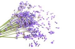 Ny lavendel royaltyfri bild