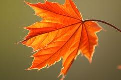 ny leaf Royaltyfria Foton