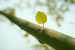 ny leaf Arkivbilder
