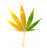 Ny leaf av hemp som isoleras på vit bakgrund Fotografering för Bildbyråer