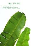 ny leaf för banan arkivfoton