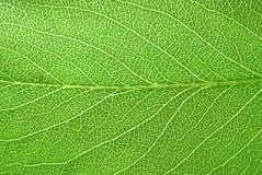 Ny leaf för peartree royaltyfri bild