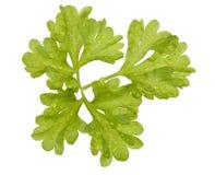ny leafparsley Royaltyfri Fotografi