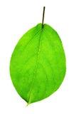 ny leafsommar Fotografering för Bildbyråer