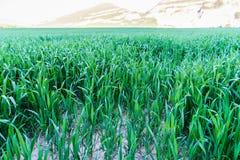 Ny lekplats för naturlig ny textur för grönt gräs Royaltyfri Fotografi