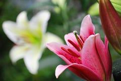 Ny lilja i vår Royaltyfria Bilder