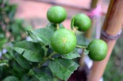 Ny limefrukt och skiva Royaltyfria Bilder