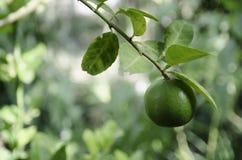 Ny limefrukt på träd Royaltyfria Bilder