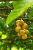 Ny Longan; Exotisk frukt av Thailand i fruktträdgård Arkivbilder