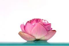 ny lotusblomma Royaltyfri Fotografi