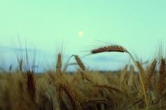 Ny måne på ett vetefält Royaltyfria Bilder