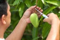 ny mango Arkivfoto