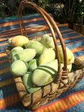 Ny mango i korg Arkivbilder