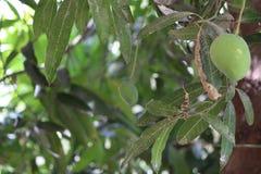 ny mango som hänger på träd Arkivbild