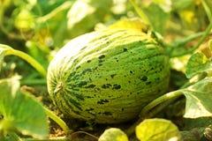ny melon arkivbild