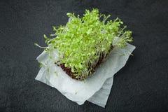 Ny mikro-gräsplan sallad med rotar på papper på en svart bakgrund Immunitetstimulans och förlängning av ungdom royaltyfri bild