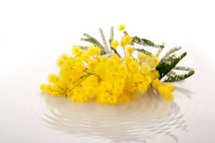 Ny mimosablomma på vit fotografering för bildbyråer