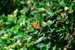 Ny monark för säsongfjärils` som s låter mig ta bilder royaltyfri bild