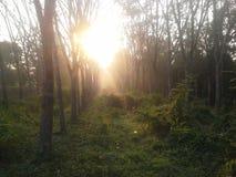 Ny morgon i gummiträdgård Royaltyfri Bild