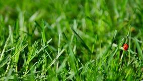 Ny morgondagg på ett vårgräs och en liten nyckelpiga, naturlig bakgrund - nära övre stock video