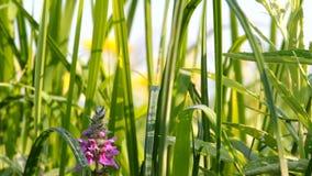 Ny morgondagg på gräs stock video