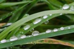 Ny morgondagg på vårgräs, slut upp makrosikt Arkivfoton