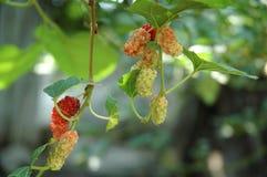 ny mullbärsträd Royaltyfri Foto