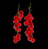 Ny närbild för röda vinbär Mogna saftiga frukter och bär Sund och ny ljus röd vinbär Läcker röd vinbär Royaltyfri Foto